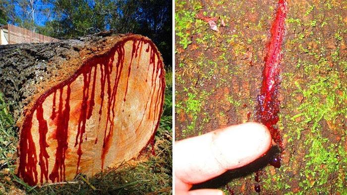 copacul-sangele-dragonului-seva-rosie