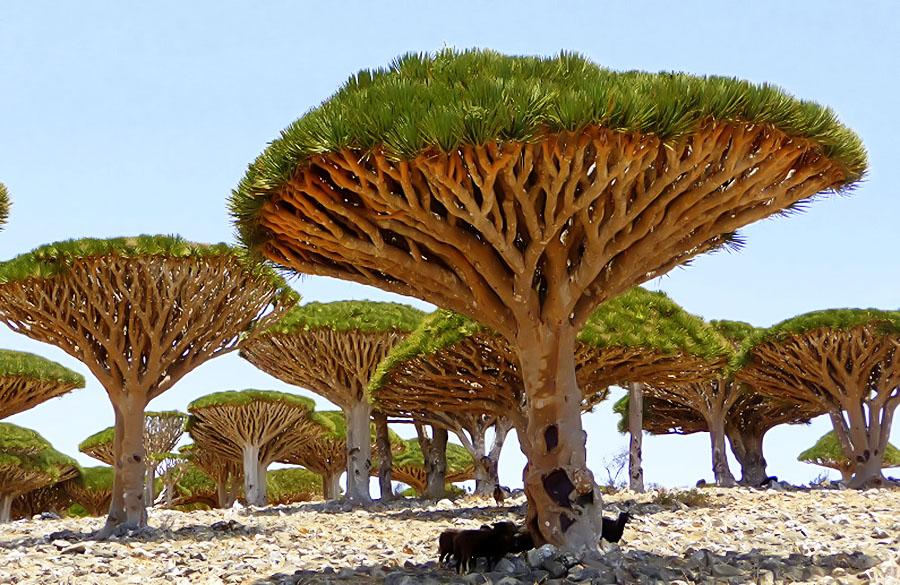 copacul-sangele-dragonului